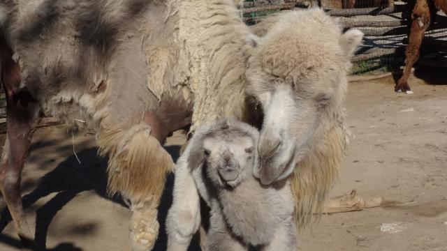 Бяла камила се роди в зоокъта (снимки)