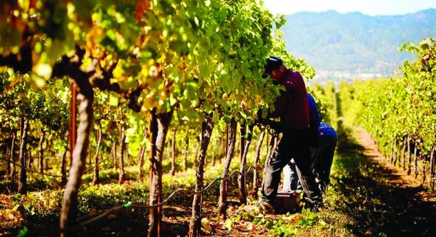 Подпомагат лозарите и винарите във Варненско заради COVID-19