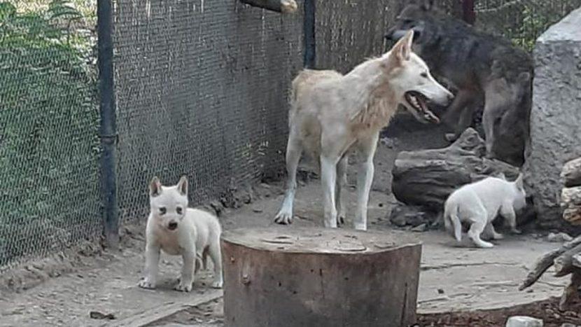 Три бели вълчета се родиха във варненския зоопарк