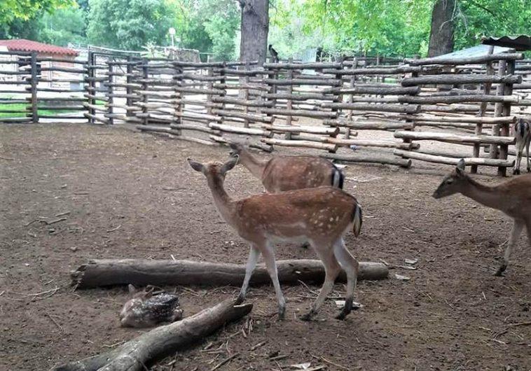 Първите елени от вида лопатар се родиха във варненския Зоопарк (снимки)