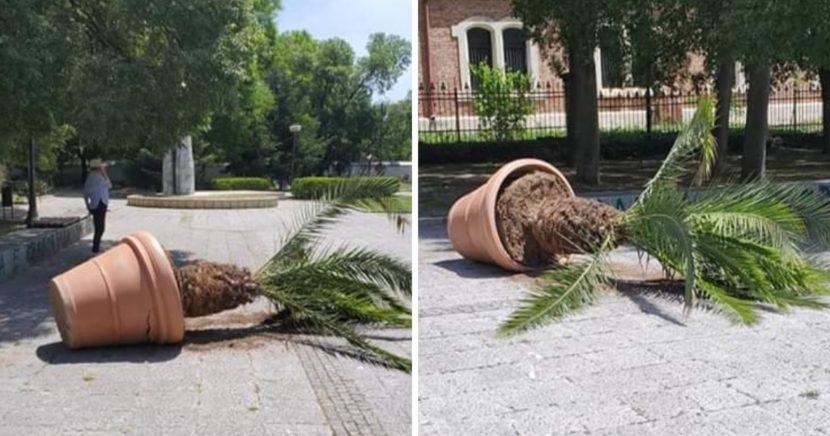 Вандали събориха палма на центъра