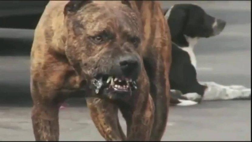 Питбул разкъса малко куче пред очите на деца във Варна