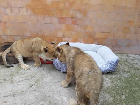 Лъвчетата Симба и Косара все по игриви