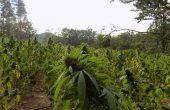 Нива с около 5400 растения марихуана е открита край Варна (снимки)
