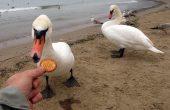 Варненци хранят лебеди с вредна за птиците храна