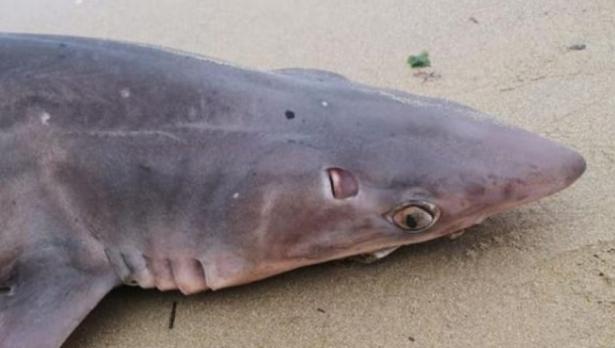 Морето изхърли акула на брега край Варна (снимки)
