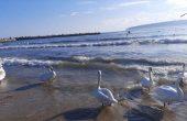 Лебеди красят варненския плаж (снимки)