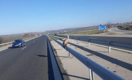 Спасителна акция на магистралата. Помогнаха на бедстващ лешояд