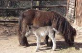 Шотландско пони е първото бебе за 2021 във варненския зоопарк