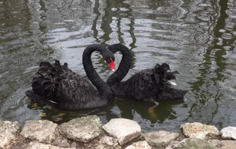 Варненския зоопарк обяви конкурс за рисунка на черни лебеди