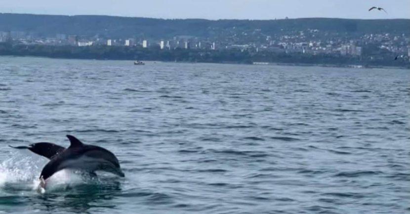 Делфини зарадваха рибарите под фар Галата (видео)